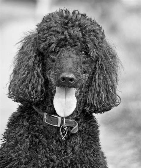 photoes of different types of poddles different breeds of dogs pictures of poodles dogs poodle
