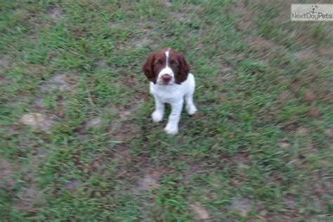 field springer spaniel puppies for sale springer spaniel puppy for sale near central nj new jersey 57b95eec b691