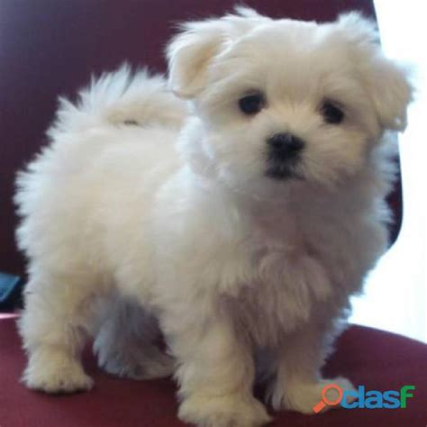 local shelters with puppies find maltese puppies at your local animal shelter breeds picture