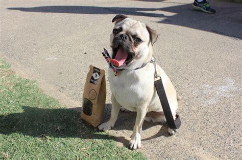 pug puppies gold coast the laughing pug coffee company brisbane
