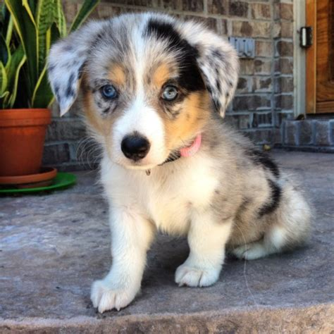 cross breed dogs corgi cross breed dogs who will win you with their unique looks