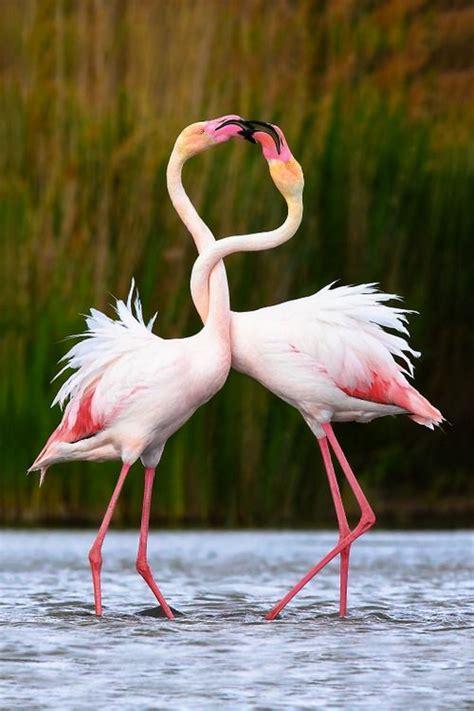 flamingos birds wallpaper flamingo bird images free hd wallpapers download