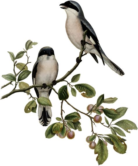 gorgeous antique birds on branch image the graphics fairy