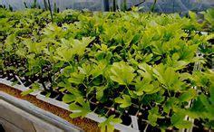 Bibit Pohon Buah Tin 1000 Images About Budidaya Buah Tin On Tins Figs And Fig Tart