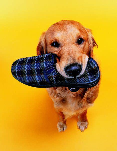 how to your not to chew how to your not to chew shoes pets