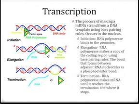what is the template for transcription transcription and translation ppt