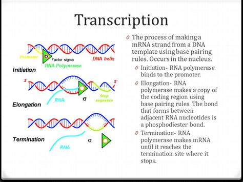 when an rna strand forms using dna as a template transcription and translation ppt