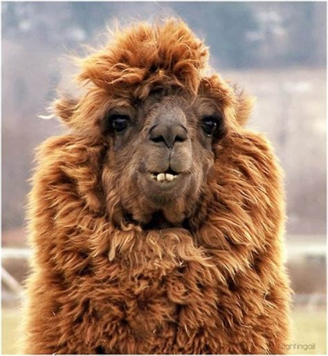 when your llama needs a haircut books the 22 most hilarious alpaca hairstyles they