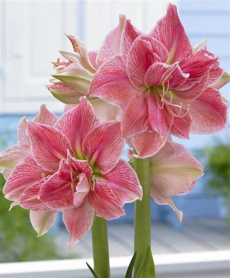 amaryllis learn 2 grow amaryllis hippeastrum http www