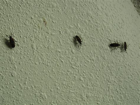 small flying beetles in bedroom small black flying bugs in bedroom universalcouncil info