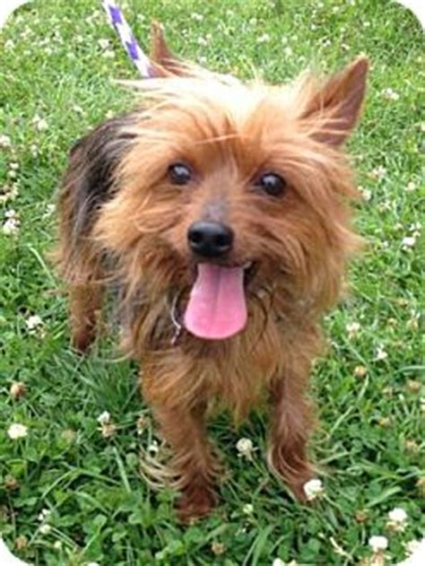 yorkie puppies for adoption in louisiana new orleans la yorkie terrier mix meet bengie a for adoption
