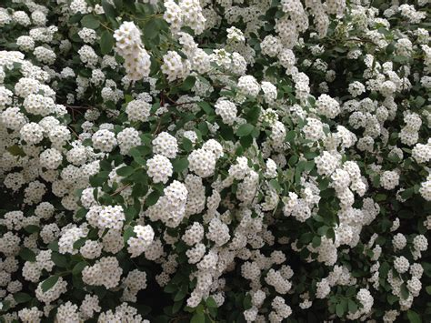 shrubs with flowers what s the name of this bush with white flowers like a