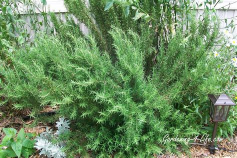 gardening 4 life growing rosemary