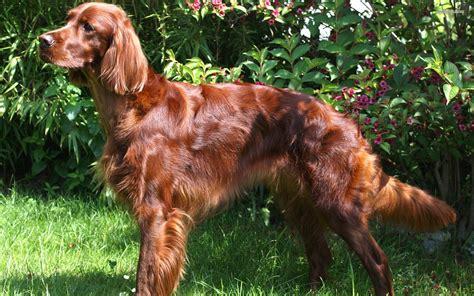luck   irish dog breeds  valley patriot