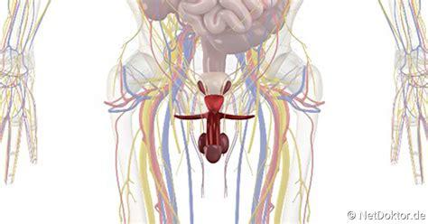 innere geschlechtsorgane innere geschlechtsorgane des mannes netdoktor