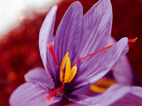 fiore dello zafferano unico come lo zafferano biozafferano