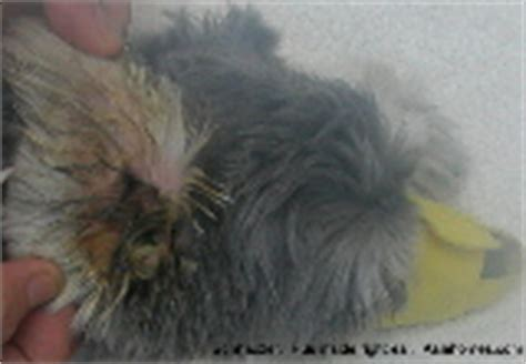 shih tzu itching non stop veterinary medicine surgery singapore toa payoh vets dogs cats rabbits guinea