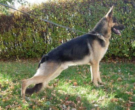 baby shark german 20 best images about german shepherd dogs on pinterest