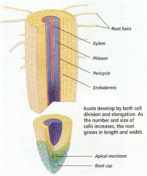 diagram of root tip biology 20b gt mehta gt flashcards gt plants studyblue