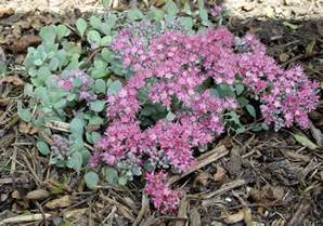 Summer Gardening Tips - sedum cauticola garden housecalls