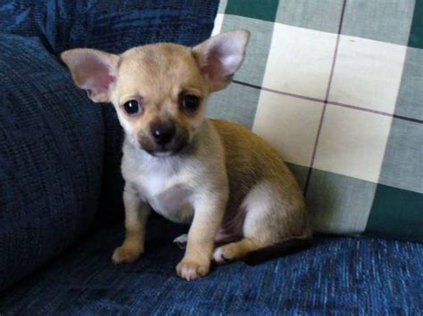 puppies for adoption in tn chihuahua puppies for sale adoption from shelbyville tennessee adpost