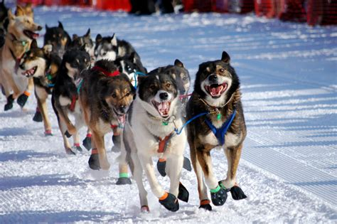 sled dogs to alaska wintertime family in the 49th state goexplorenature