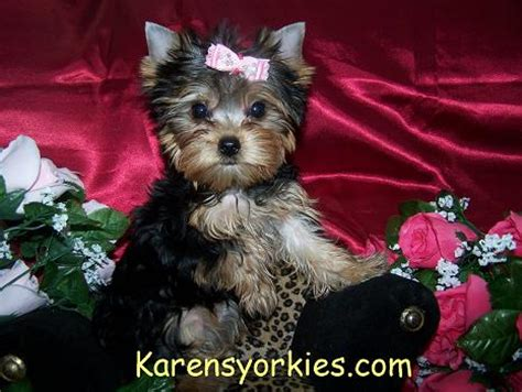 yorkies for sale denver karens yorkies yorkie puppies for sale yorky breeder we many yorkies for sale