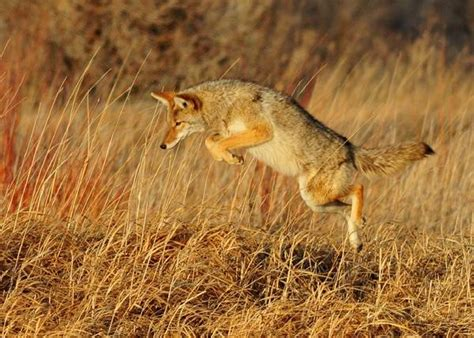 do coyotes eat dogs what do coyotes eat insights and information