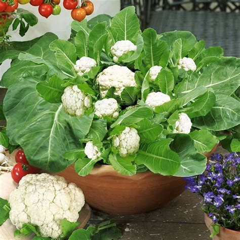 vegetables u can grow indoors growing cauliflower in containers care how to grow