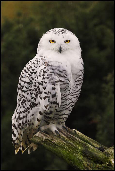 Canon Creative Park Snowy Owl By Radoslawkamil On Deviantart - treknature snowy owl photo