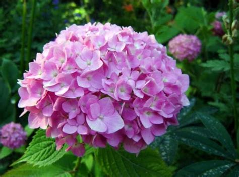 common flowering shrubs photo common hydrangea bigleaf hydrangea