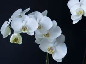 phalaenopsis amabilis moth orchid world of flowering