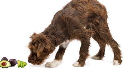 can dogs eat avocados can dogs eat avocados dogtime