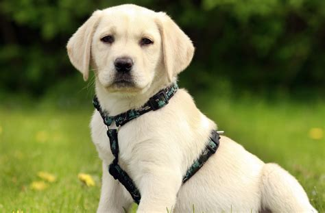 a lab puppy why your labrador puppy needs a harness
