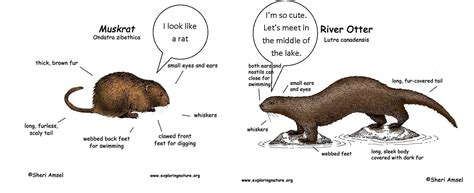 sea otter diagram dishing it out muskrat and goose