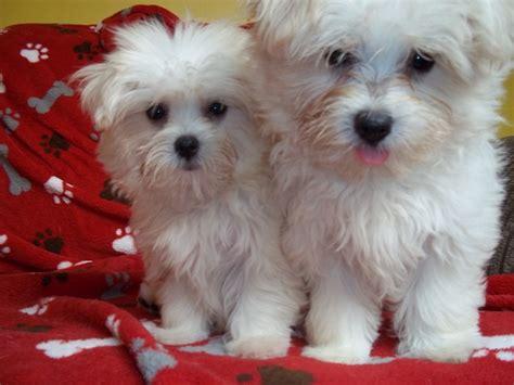 maltese x pomeranian maltipom puppies maltipom maltese x pomeranian info temperament breeds picture