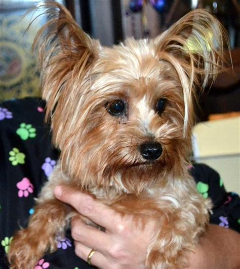 rescued yorkies available yorkies