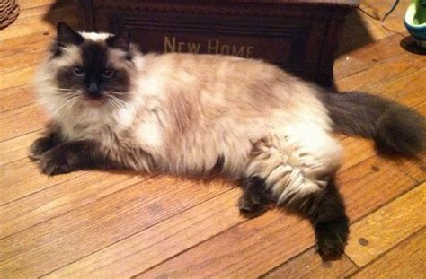 Ragdoll Cat Breed Information and Pictures