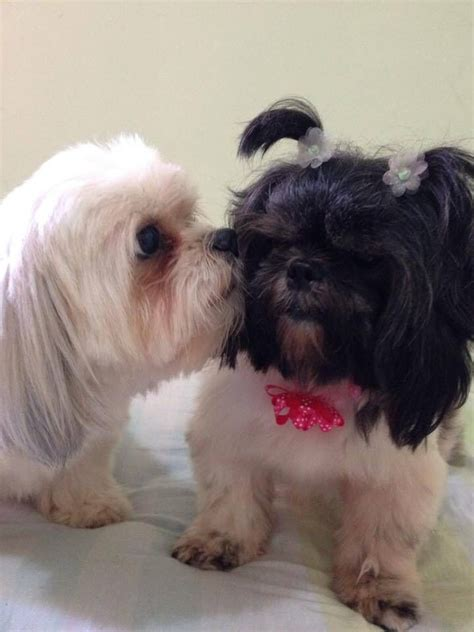 Kisses 3 Puppy 17 best images about shih tuz s on puppys