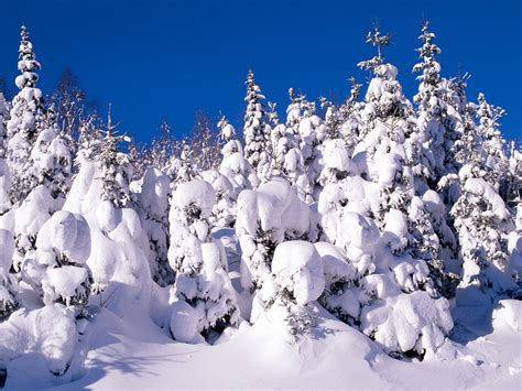 snow images spruce trees covered in snow canada scenic snow
