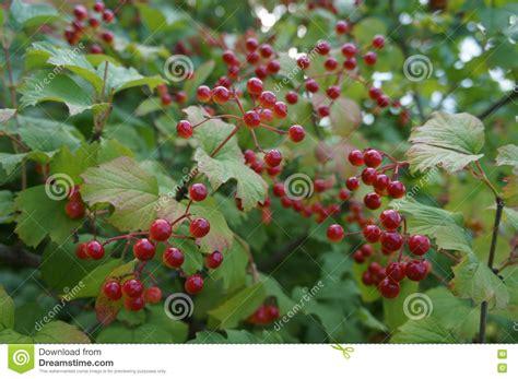 Arbuste à Fruits Rouges lovely arbuste a fruit 4 a arbutus unedo