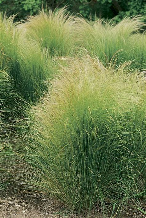 Soft Grass grasses mexicans and water on