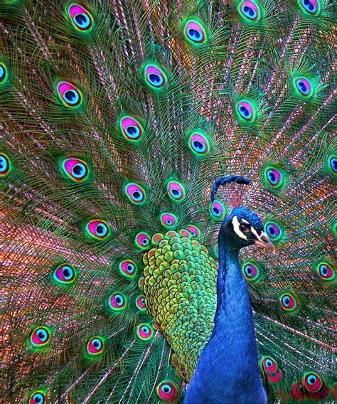 color peacock treklens peacock colours photo