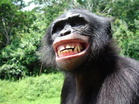 Monkey Blog: bonobo wallpapers