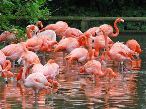wallpaper flamingos flamingo wallpapers wallpaper cave