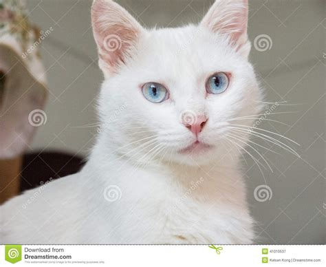 Scientific Name For House Cat by White Cat Stock Photo Image 41010537