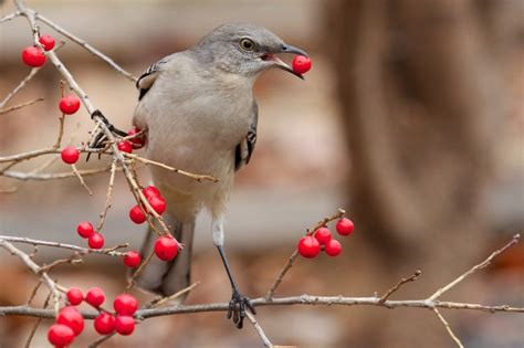 best 28 what do mockingbirds eat in the winter 415