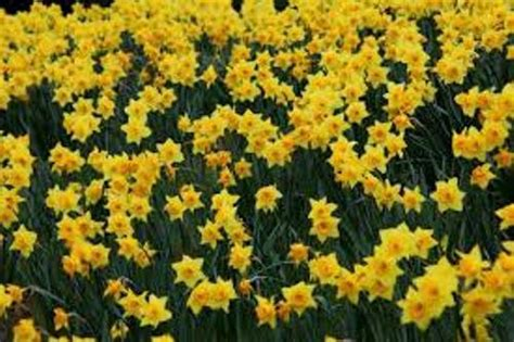 10 facts about daffodils fact file