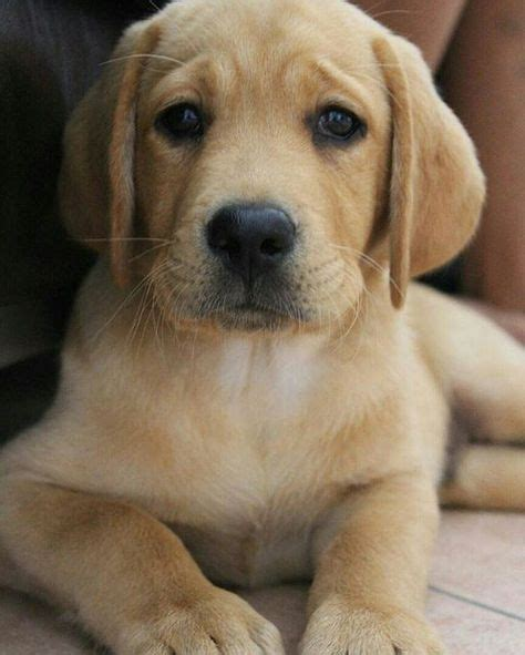 yellow labrador puppies top 25 best yellow lab puppies ideas on