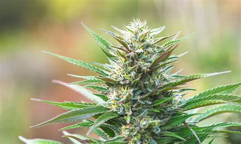 best strain top 10 cannabis strains in california leafly